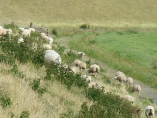 kanaalien penkereillä laiduntavat lampaat