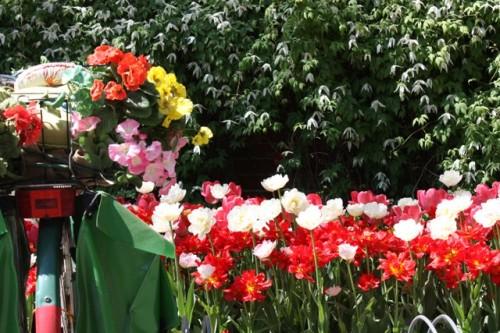 Toukokuu (May) viikko 20. Tämä kevät oli tulppaanien kevät, talvi oli sipulikukille suosiollinen. Kumpulan kasvitieteellisen puutarhan pyörätelineellä. Kärhiä kanssa!