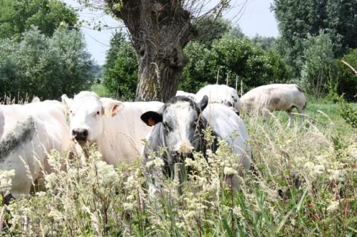 lihaksikkaita ja rotevia belgialaisia lehmiä